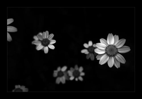 Daisies in the dark by Javs