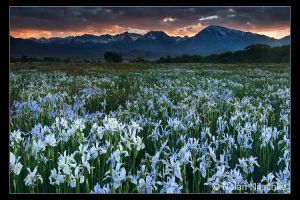 Wild Iris and Sierra Sunset by narmansk8