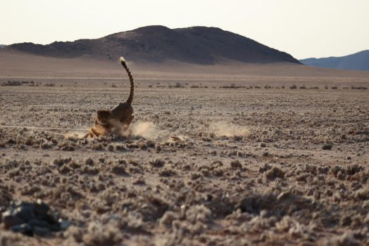 Cheetah run 8 by DoWnHIller