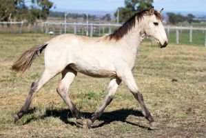 HH Iberian foal trot side view by Chunga-Stock