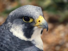 Peregrine Falcon by ColdEdge