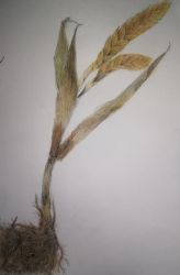 Dried Plant by jmtacda