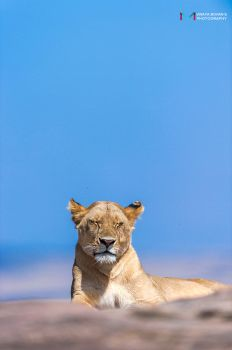 Lioness by vinayan