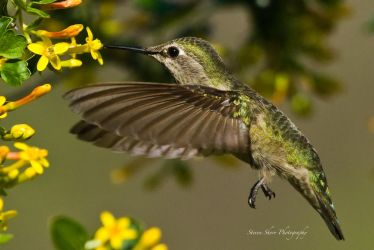 Little Hummer 2 by Mac-Wiz