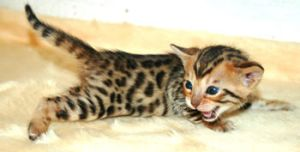 Baby Bengal by spaceagejellyhead