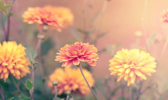 Tagetes by Demiday