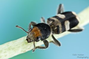 Checkered beetle by ColinHuttonPhoto