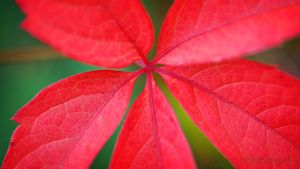 Autumn Leaf by SmartyPhoto