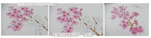 :: Cherry Blossoms (2) :: by maritery-san