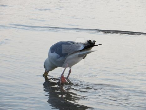 Seagull Drinking Water by Charlief43