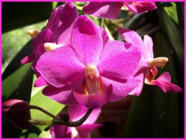 Fanciful Fuchsia Phalaenopsis by hotrats51