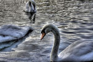 Swan HDR by chilipenguin