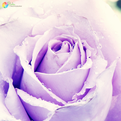 .:Lavender Rose:. by bogdanici