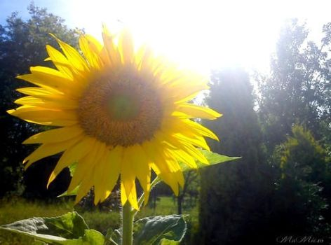 Sunflower... by cute-MuMie