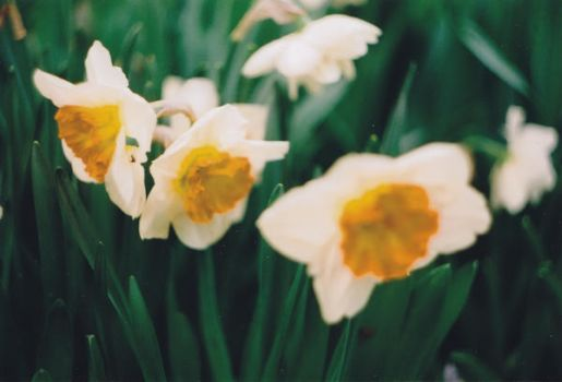 Narcissus by Mon-artefact