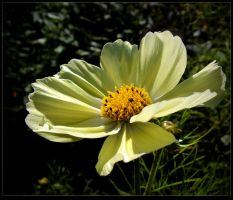 Yellow Cosmos for Barbara by JocelyneR