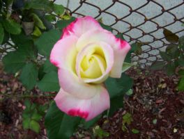 Pink white and yellow rose in an urban jungle by caspercrafts