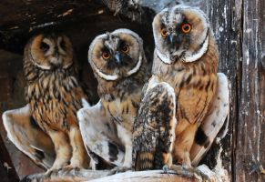 owls by macAna