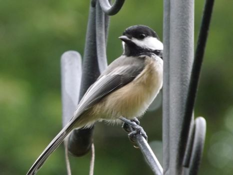 blacked- capped chickadee by Lisa99