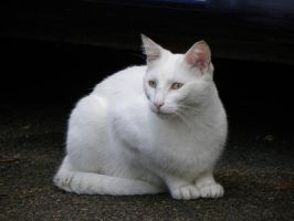 le chat blanc by Flore-stock