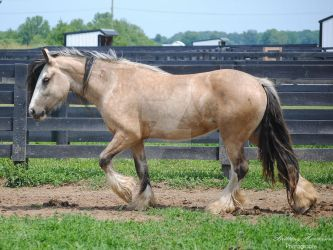 Walking Gypsy Vanner Mare - Stock by BHP-Stock