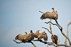 Vultures dont grow on trees you know by AnneMarks