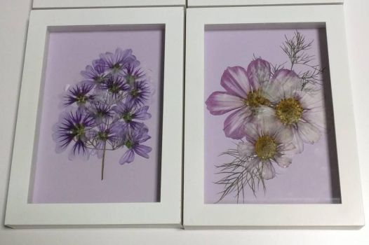 Pressed Malva and Cosmos by reenaj