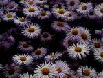Deep within the Daisies by gee231205