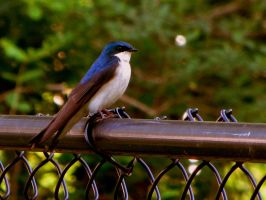 Swallow 1 by hm923