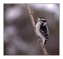 A Downy Woodpecker by dove-51