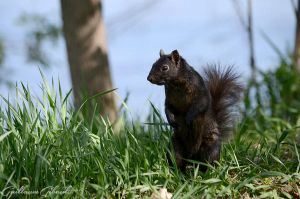 Eastern Gray Squirrel (melanistic form) by GuillaumGibault