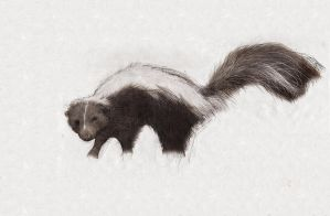 Skunk by AnnMarshall