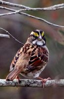 White Throated Sparrow 001 by Elluka-brendmer