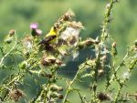 Goldfinch by KenshinKyo