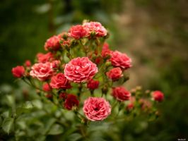 No rose without a thorn by Merkosh