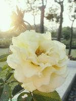 the white rose in the sun set. by pueng2311