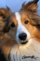 Sheltie Snuggle Face by Chezhnian