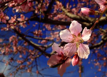 Spring Blossoms by AlyPicturedIt