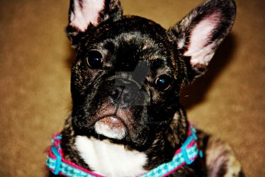 Elsa, The Frenchie II by Charmed-n-Captivated