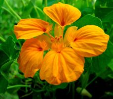 Orange Nasturtium - for Flori by JocelyneR