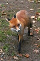 Red fox by BetaDraconis