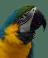 Blue and Gold Macaw by GothicRavenMidnight