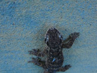 Gecko Guy On A Wall By Shao Kanh Mishima On Deviantart