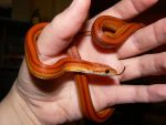 Yearling Striped Corn Snake 4 by ShadedRain