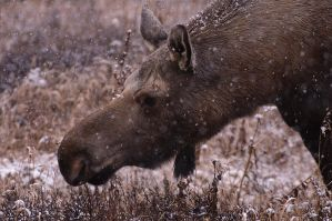 lunch moose 02 by JWFisher