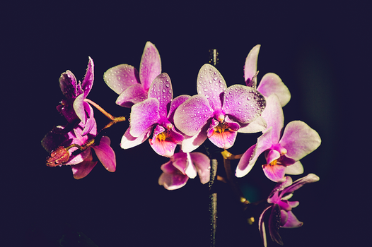 Orchid by ziggy90lisa