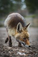 Fox by DavidVeevers