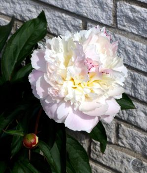 White peony by seirenwinter