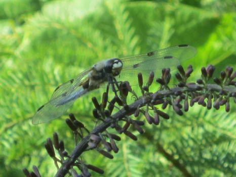 This dragonfly is a pilot! by Desulishor