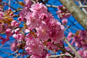 Plum Tree by falcona